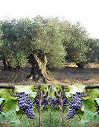 La deuxième vague de domestication végétale au Proche-Orient : l'histoire de la vigne et de l'olivier