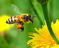 La vie des abeilles ( 1ère partie )