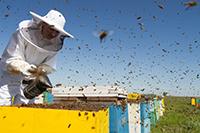 La vie des abeilles ( 2ème partie): l'apiculture